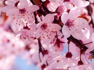 Cherry Blossom Individual