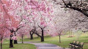 CherryBlossomTree