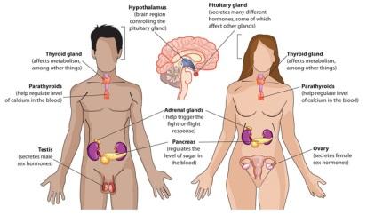 endocrine3