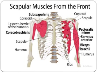 scapulamusclesfromfront
